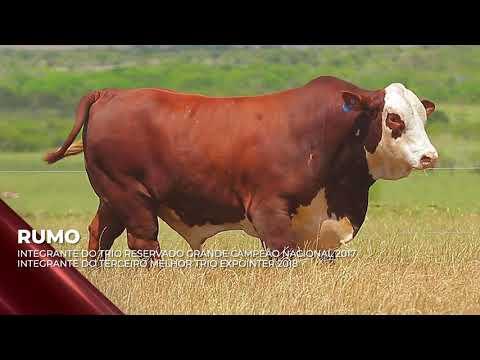 Touro Rumo - Braford indicado para IATF - RENASCER BIOTECNOLOGIA VIDEO