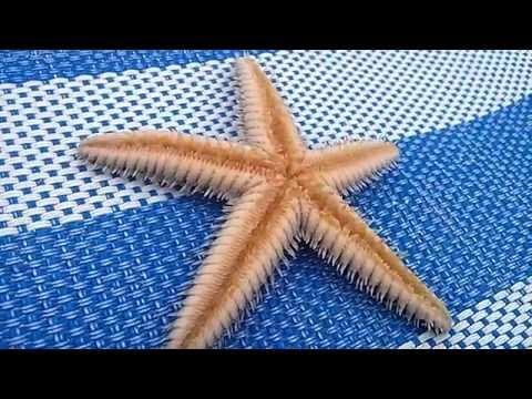 Starfish (Sand Star, Luidia foliolata) Movement