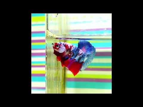 ikan-cupang-koi-|-beautiful-betta-fish-koi-multicolor-full-color-block