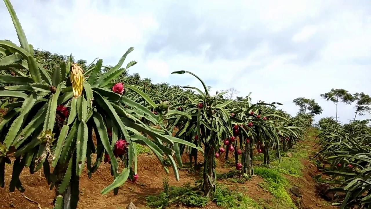 Kebun buah naga di Jawa Tengah | Sumber: YouTube