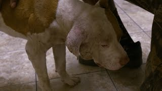 This Poor Pup Has Suffered A Lot Of Trauma | Pit Bulls & Parolees