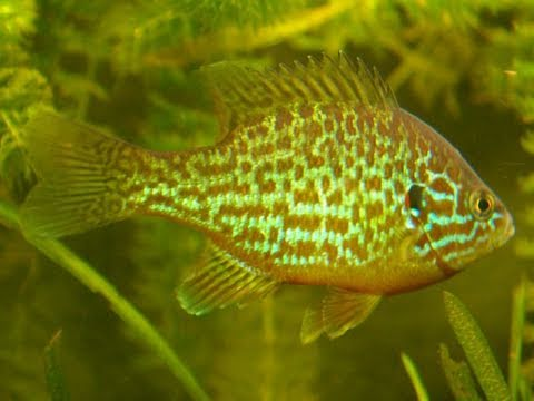 My Pumpkinseed Sunfish In Tank/Sonnenbarsch Im Aquarium[3/4]