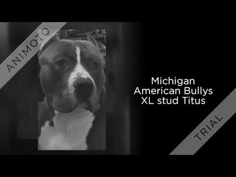 American Bully Puppies Canton Michigan