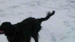 フラットコーテッドレトリバー「こてつ」とボストンテリア「ゆき」を雪...
