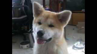 "Akita Inu Puppy ""speak"" Training Progress (part 2)"