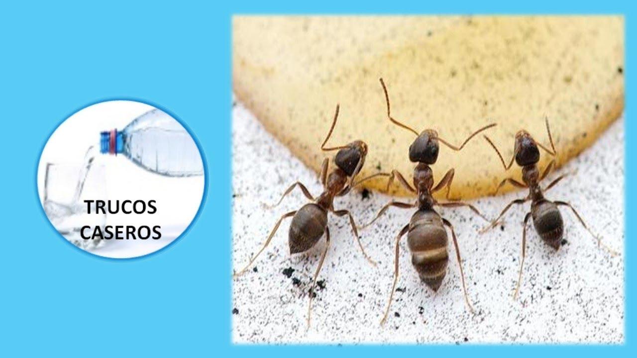 Remedios naturales para eliminar las hormigas del hogar - Remedios caseros para eliminar hormigas en casa ...