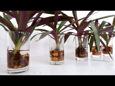 DIY Purple Stripes Wooden Wall Shelf for Boat Lily / Rhoeo Dwarf Plant in Glasses of Water