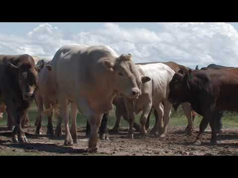 Tuli Cattle - The Extremely Profitable Choice