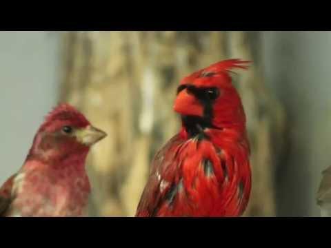 Bird of the Month -  Northern Cardinal