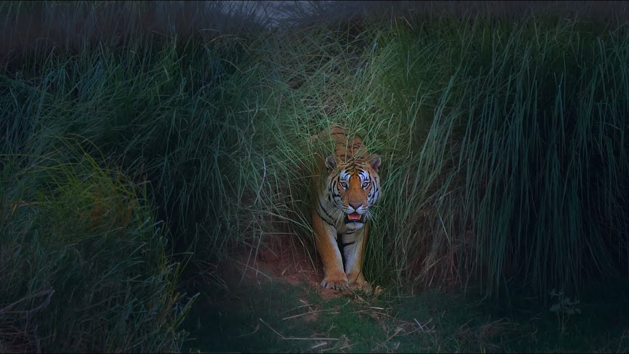TIGER framed by TALL GRASS by the banks of the RIVER