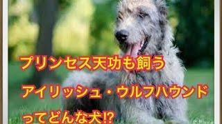 ペットで犬を飼おうと迷っている方へ〜アイリッシュ・ウルフハウンド〜 ...