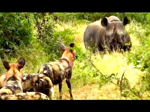 Wild Dogs Versus Black Rhino - Latest Wildlife Sightings
