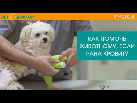Рана у собаки на лапе. Как остановить кровь и наложить повязку? Чем обезболить?