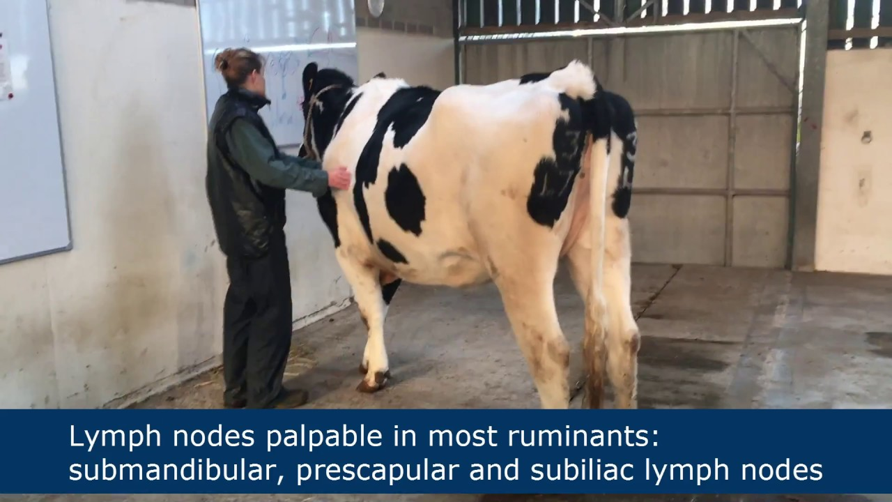 medium resolution of lymph node palpation in ruminants
