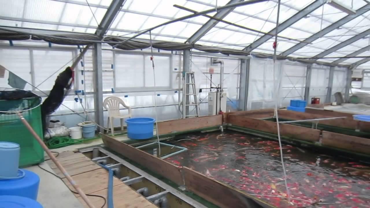 Niigata japan koi fish farm tour breeder matsuda koi for Koi fish farm