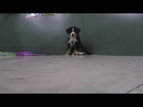 SSPC- Bernese Mountain Dog