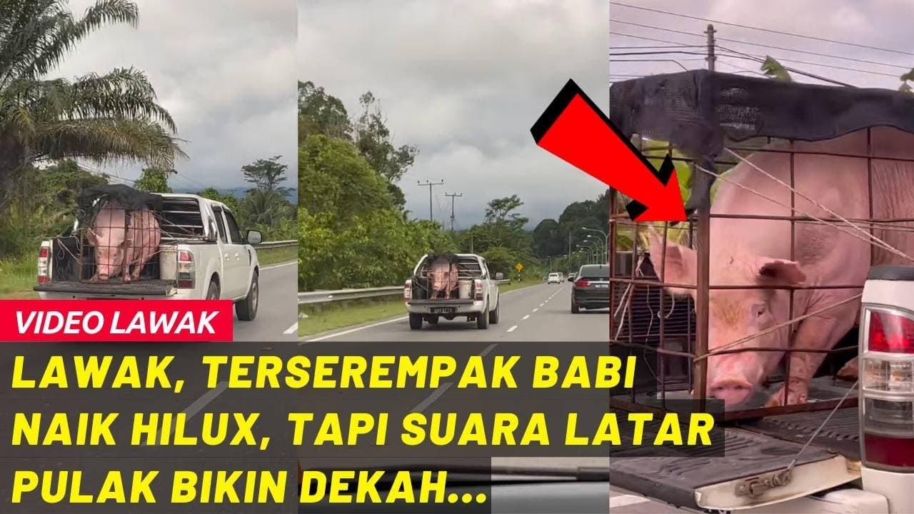 Download LAWAK, TERSEREMPAK BABI NAIK HILUX, TAPI SUARA LATAR PULAK BIKIN DEKAH...