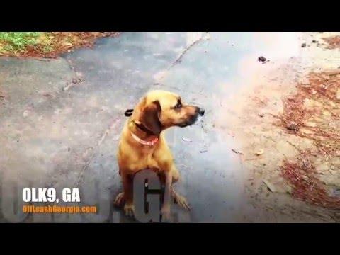 Copper mixing it up! | Georgia's Best Rhodesian Ridgeback Trainers | Georgia Dog Trainers