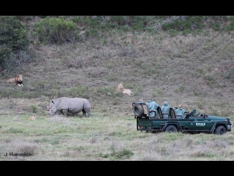 White Rhino vs Lion Pride