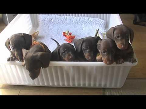 Boxer Puppies Grand Island Ne