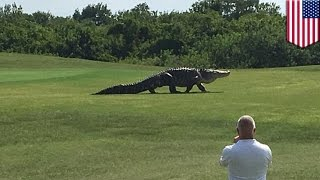 Giant alligator caught on camera walking across Buffalo Creek Golf Course in Florida - TomoNews
