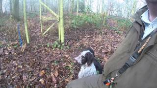 Gwp 8 Months Old And Cocker Picking Up
