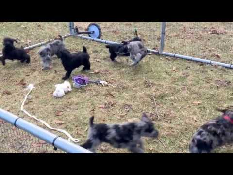 Standard Schnoodles last video 2-2-17  Gabby's litter