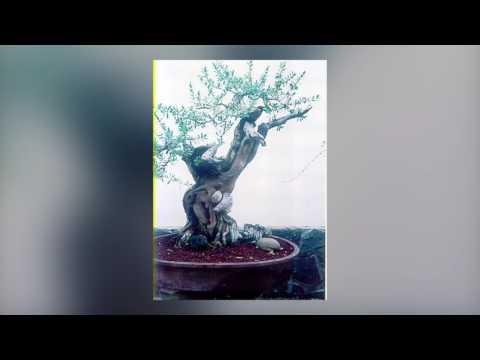 Pemphis acidula bonsai Mokong