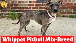 Whippet Pitbull MixBreed | What's their Behavior and Temperament?