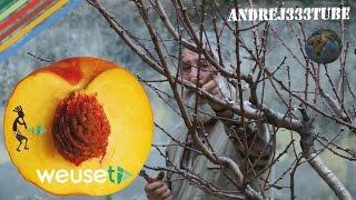 Potatura del pesco (Prunus persica, famiglia Rosaceae) #gardening #pruning