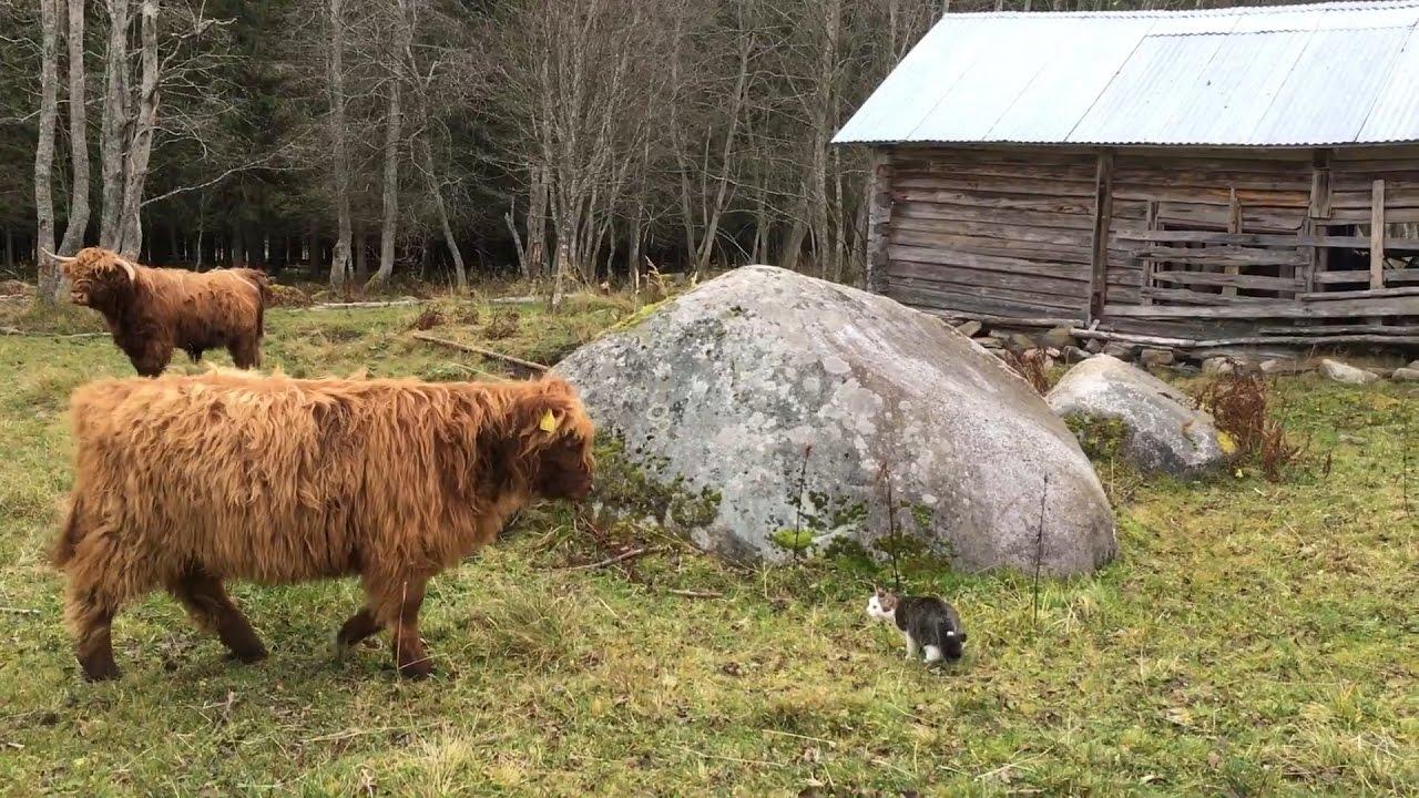 Cat Vs Cow