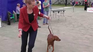 породы собак, Пинчер, видео с выставки собак