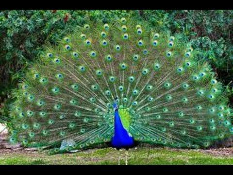 Burung  Merak  Hijau yang Aneh tapi Cantik YouTube