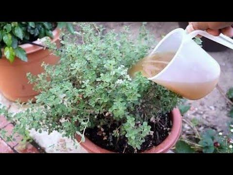 105. how to ready cheap n best homemade organic fertilizer by sadhna's terrace garden
