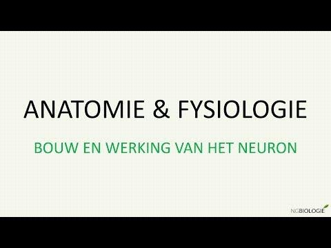 Bouw en functie van het neuron