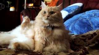 Кошка слушает музыку . Коша, а рядом лапы. Норм так поза.