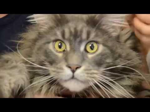 Největší kočka na světě-Mainská mývalí