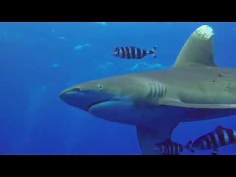 Red Sea Oceanic Shark Bully