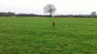Gundog Training - Motivating A 9 Month Old Wire-haired Hungarian Vizsla Retrieve A Dummy.