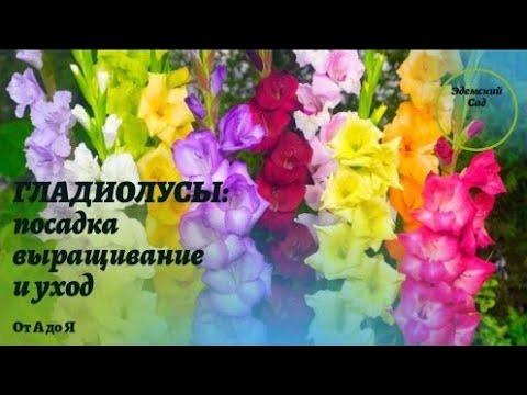 #гладиолусы #выращивание #уход ГЛАДИОЛУСЫ: посадка, выращивание и уход от А до Я