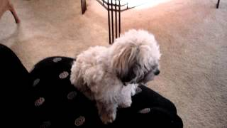 Kamet The Tibetan Shih Tzu Dog On Monday April 02, 2012 (inta M.c. Mitterbach) Mov09654.mpg Imcm