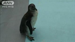 動物園から2度も脱走した、あのお騒がせペンギンの名前が決まりました。...