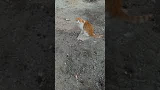 Рыжий кот мяукает. Red Cat Meow. Lustige Katzen. Kucing Lucu. Gatos Graciosos. Chats Drôles. 面白い猫. 猫