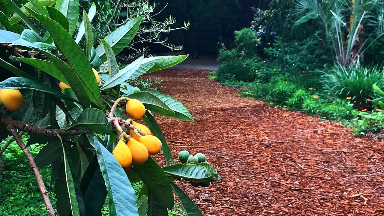 Our Favorite Grafted Loquat Trees Japanese Plums Youtube
