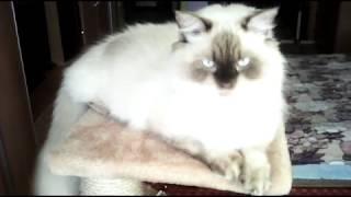 Кот Ден Лотос, породы невская маскарадная. Голубоглазый блондин.