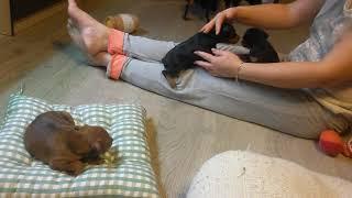 Цвергпинчеры. Собаки для активной жизни.