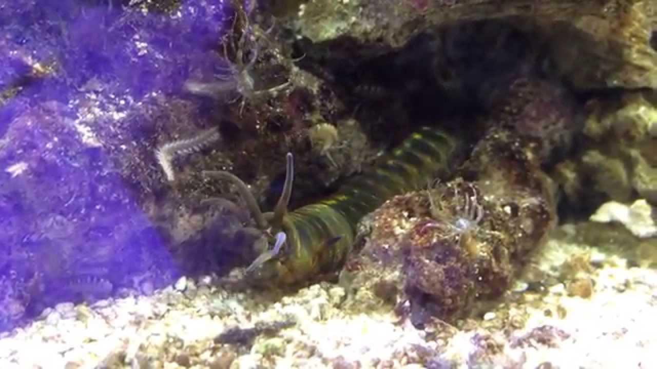 Giant sea worm terrorizes aquarium