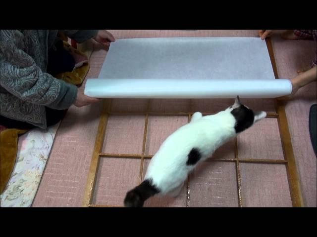 障子張りを邪魔する猫 Cat interferes with repaper a shoji.