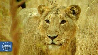 Gir: Last shelter of the Asian lion. Part 4