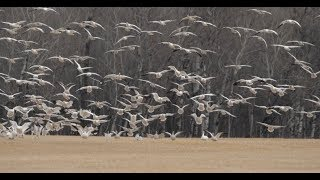 Hired to Hunt Season 4 #7: Damage Control.  Goose Hunting and Duck Hunting.  Limit Hunts in Alberta
